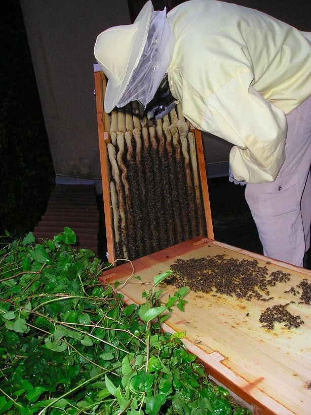 """Mit dem Messer schneide ich zwischen Brut- und Honigwaben entlang. Über Nacht werden die Bienen daraus eine honigfreie """"Sollbruchstelle"""" bauen."""